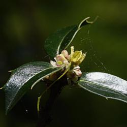 Photo of American Holly (Ilex opaca)