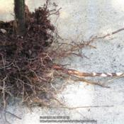 Location: Sebastian, FloridaDate: 2016-05-25Roots and Rhizomes