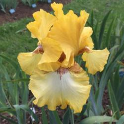 Photo of Tall Bearded Iris (Iris 'Panocha')