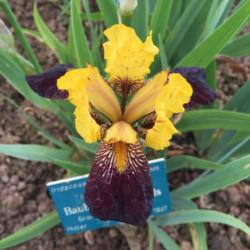 Photo of Miniature Tall Bearded Iris (Iris 'Baubles and Beads')