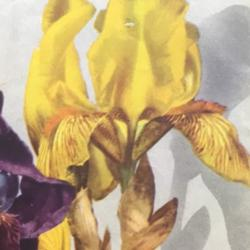 Photo of Tall Bearded Iris (Iris 'Tussor')