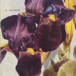 Photo of Tall Bearded Iris (Iris 'Lecoq')