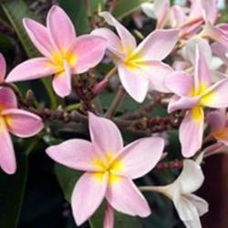 Photo of Plumeria (Plumeria rubra 'Herzog's Joy')
