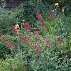 Photo of Red Valerian (Centranthus ruber)