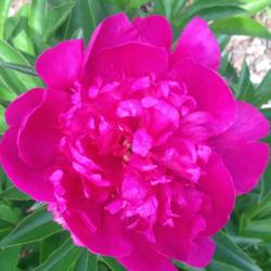 Photo of Garden Peony (Paeonia lactiflora 'Madame Butterfly')
