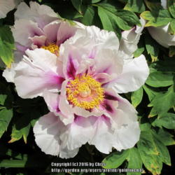 Photo of Tree Peony (Paeonia 'Guardian of the Monastery')