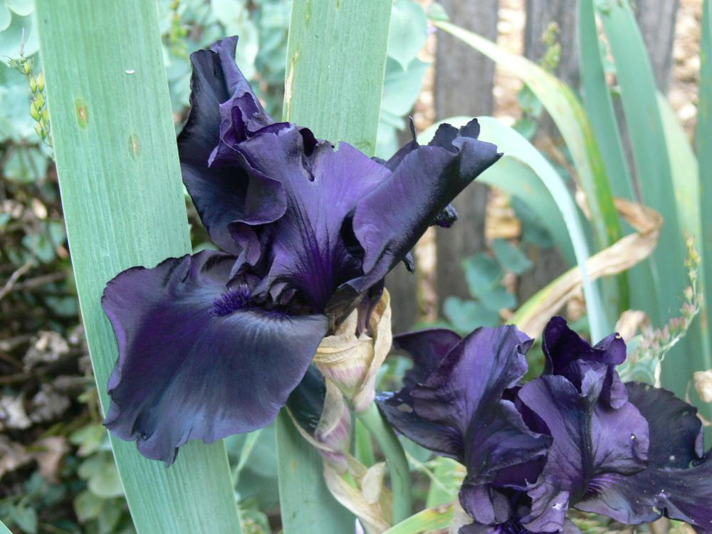 Photo of Tall Bearded Iris (Iris 'Before the Storm') uploaded by janwax