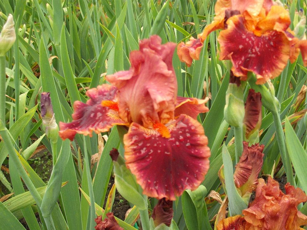 Photo of Tall Bearded Iris (Iris 'Drinks at Sunset') uploaded by pasla3