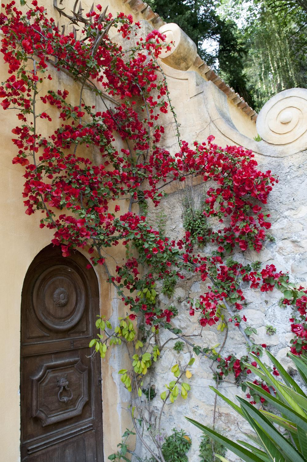 Bougainvilleas Plant Care And Collection Of Varieties