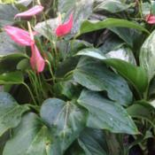 Location: Charleston, SCDate: 2015-07-06Anthurium, Flamingo Flower