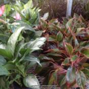 Location: Columbia, SCDate: 2015-07-06Aglaonema, variety of