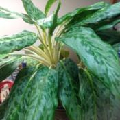 Location: Orangeburg, SCDate: 2015-11-19Aglaonema NOID