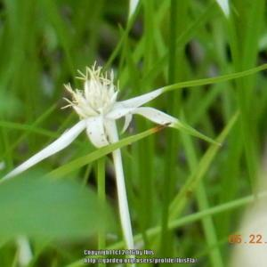 White topped sedge