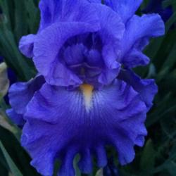 Photo of Tall Bearded Iris (Iris 'Baltic Sea')