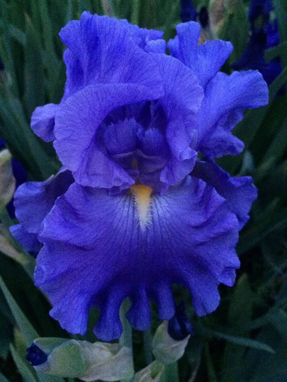Photo of Tall Bearded Iris (Iris 'Baltic Sea') uploaded by Njiris
