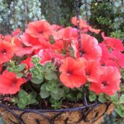 Location: My garden, central NJ, Zone 7ADate: 2016-05-28Petunia Headliner Electric Orange