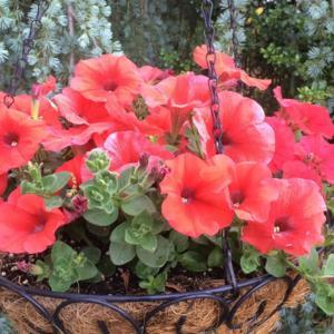 Petunia Headliner Electric Orange