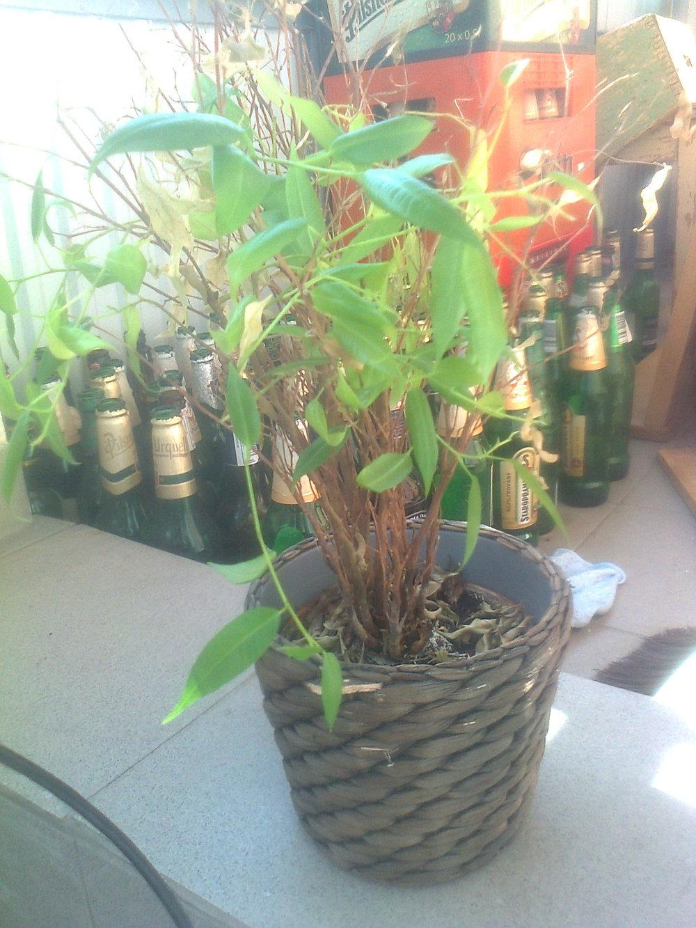 Ask a Question forum Help me save this plant Gardenorg