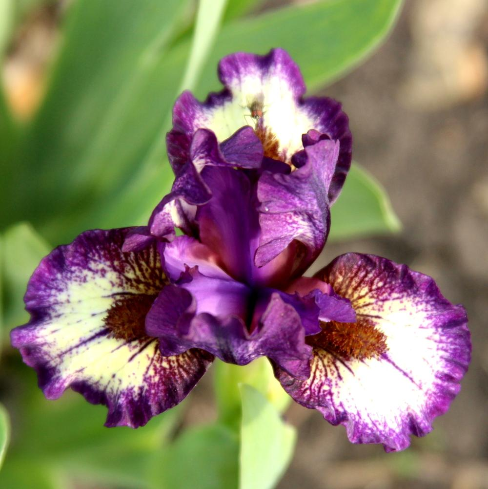 Photo of Miniature Dwarf Bearded Iris (Iris 'Be Brief') uploaded by bratwithcat