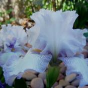 Location: SW Row 3-11Date: 4-3-16This iris gets more shade, still a lovely combination o