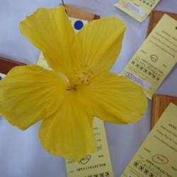 Photo of Tropical Hibiscus (Hibiscus rosa-sinensis 'Yellow Delight')