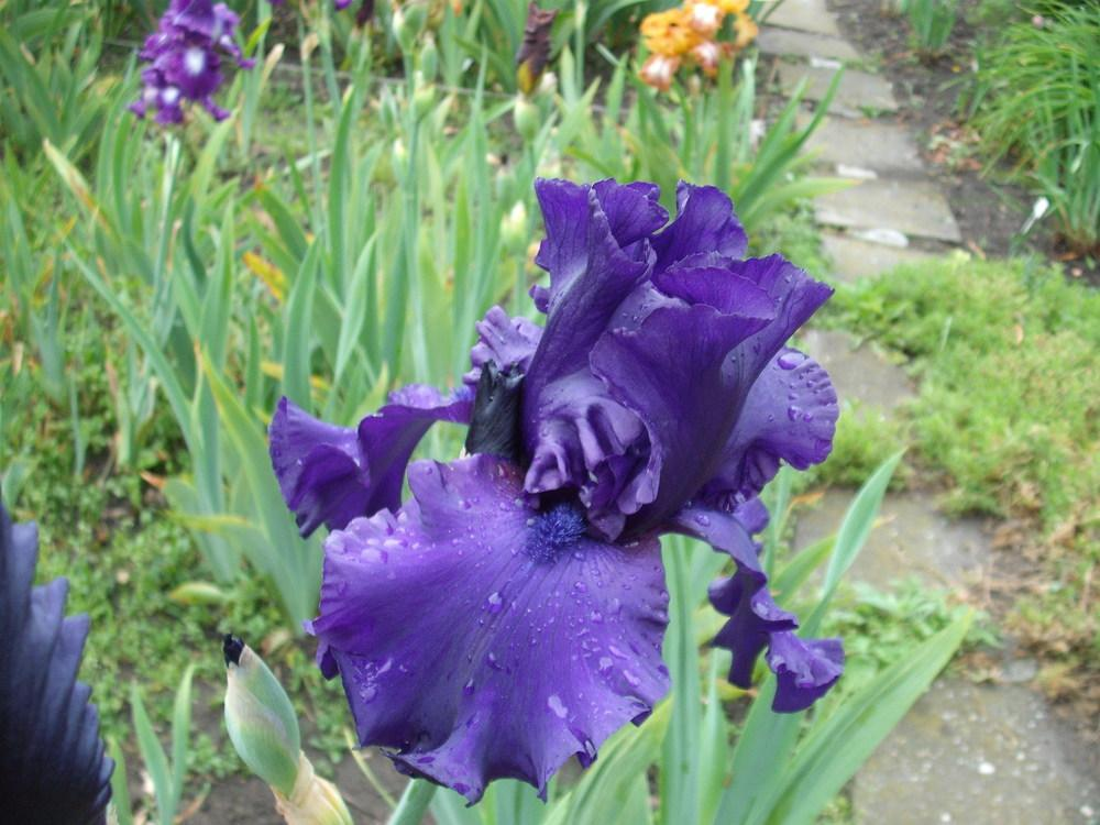 Photo of Tall Bearded Iris (Iris 'Dusky Challenger') uploaded by pasla3
