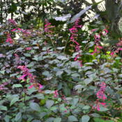 Location: Winter Springs, FL zone 9bDate: 2016-02-16A must for the hummingbird garden, perennial in FL