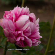 Photo courtesy of Brooks Gardens Peonies. Used with permission.