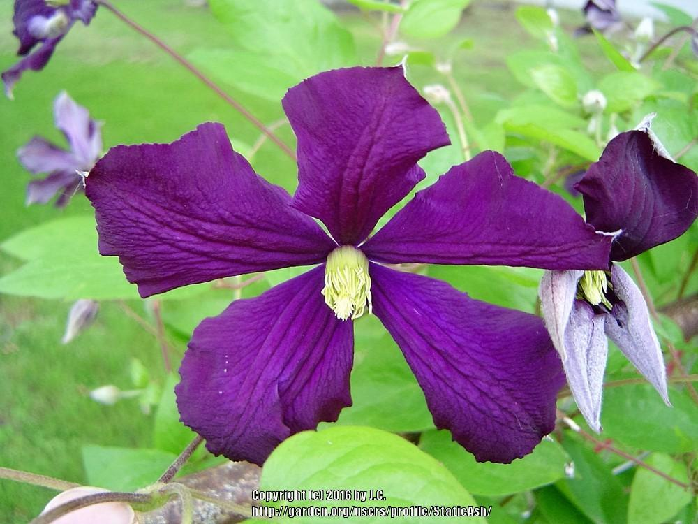 photo of the bloom of clematis clematis viticella 39 etoile. Black Bedroom Furniture Sets. Home Design Ideas