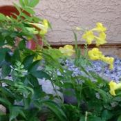Location: SW yardDate: SpringNotice the throat of this yellow bell is white, it is a much clea