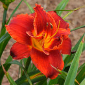 Location: Lewisville, AR (zone 8a)Date: 2016-05-30Hemerocallis 'Fires of Fuji'