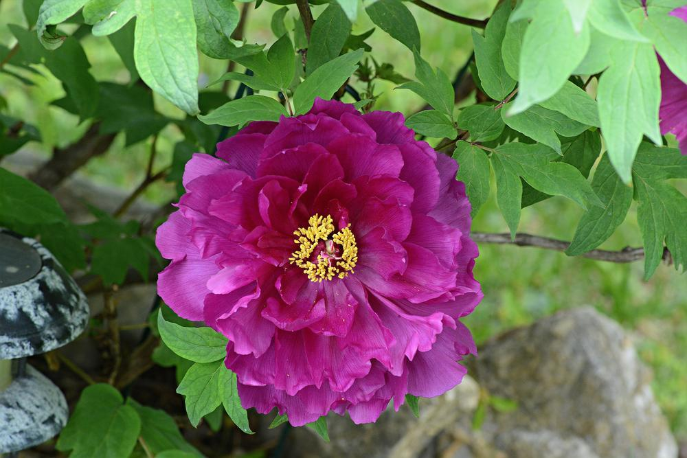 Photo of Japanese Tree Peony (Paeonia x suffruticosa 'Shimadaijin') uploaded by marsrover