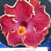 Location: Pinellas Park, FLDate: 2016-05-29Sunset Chapter, American Hibiscus Society show, Winner Amateur Si
