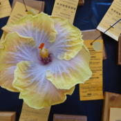 Location: Pinellas Park, FLDate: 2016-05-29Sunset Chapter, American Hibiscus Society show and sale