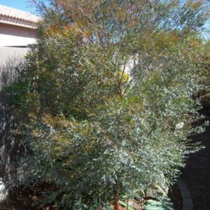 The colors of this shrub/small tree are gorgeous, from the grey b
