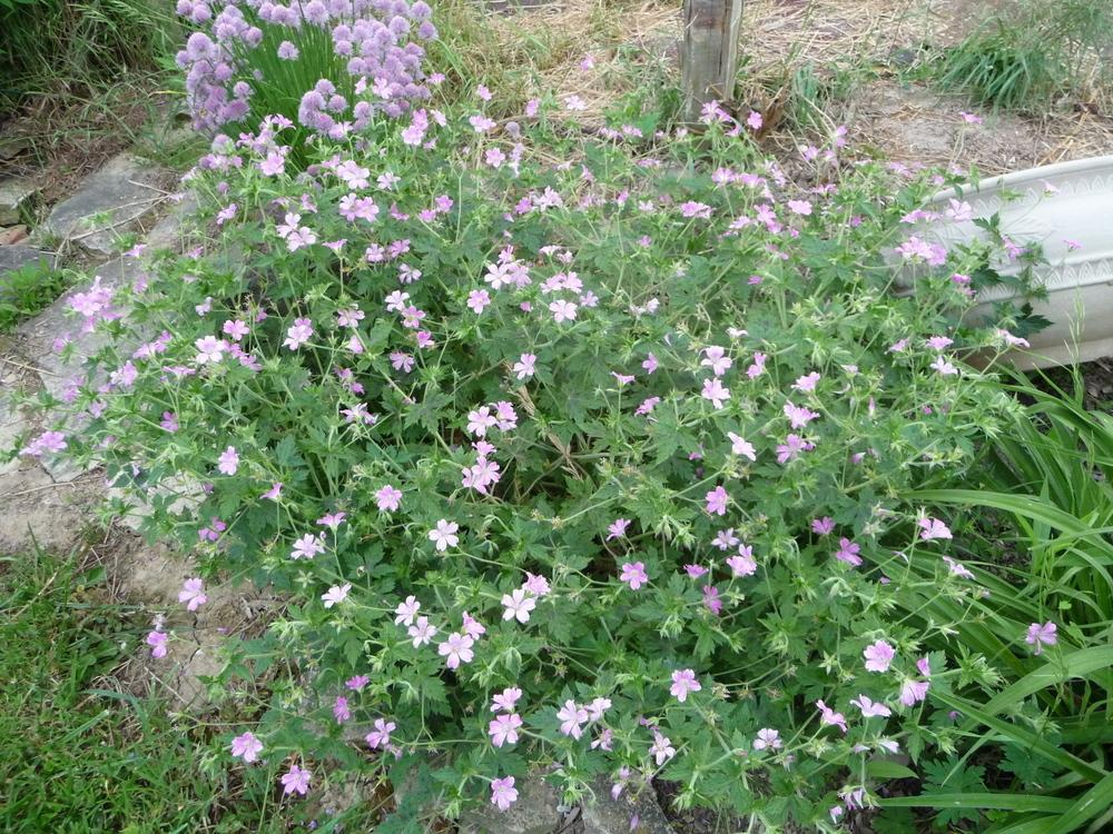 Photo of Cranesbill Geranium (Geranium x oxonianum 'Miss Heidi') uploaded by gardengus