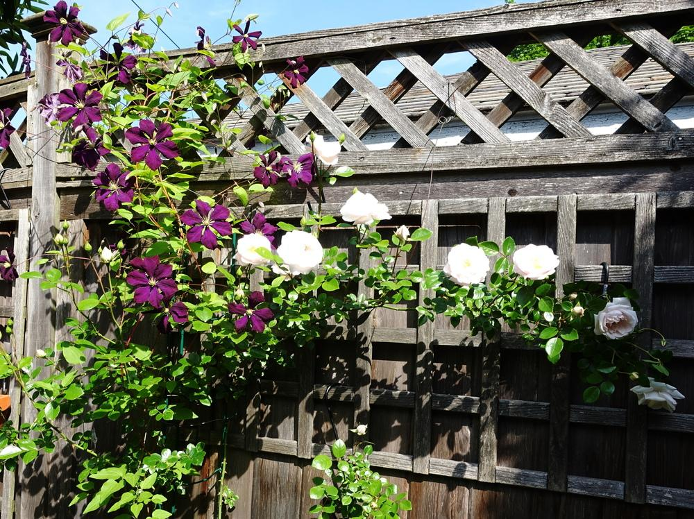 Photo of Clematis (Clematis viticella 'Etoile Violette') uploaded by spikemom