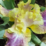 Photo of Tall Bearded Iris (Iris 'Cimarron Trail')