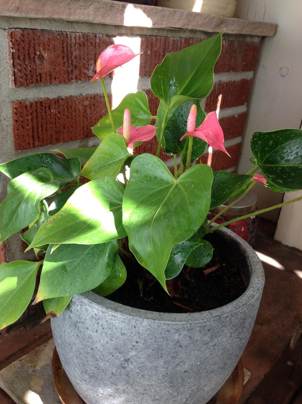 Photo of the entire plant of flamingo flower anthurium alabama pink photo of flamingo flower anthurium alabama pink uploaded by englishgardener mightylinksfo Images