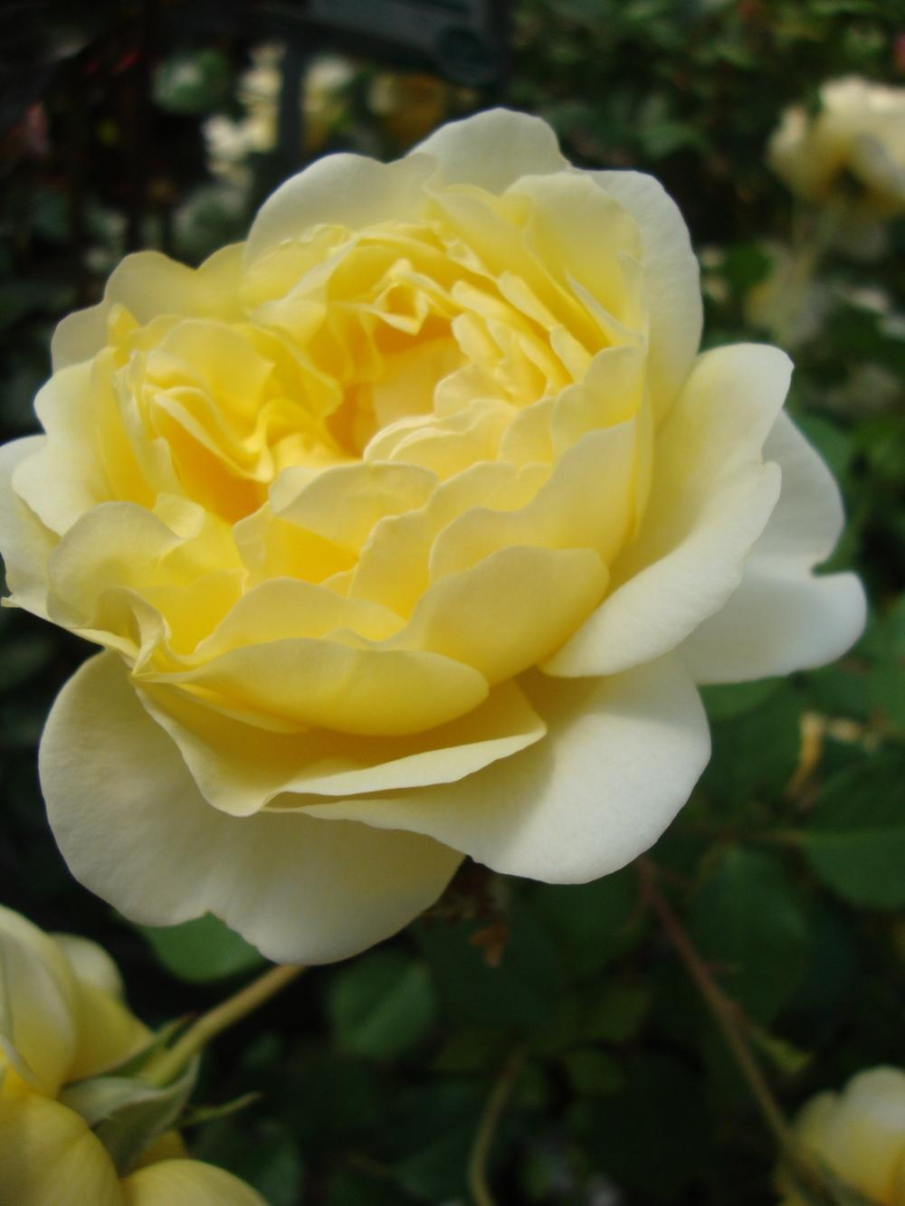Photo of Rose (Rosa 'The Poet's Wife') uploaded by Paul2032