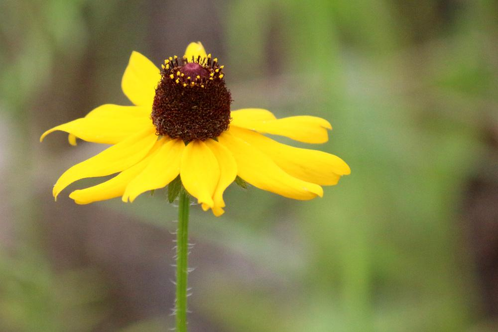 Photo of Black Eyed Susans (Rudbeckia) uploaded by GrammaChar