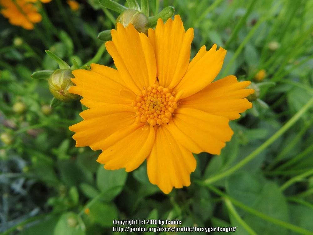 Photo of Ear-leaved Tickseed (Coreopsis auriculata 'Nana') uploaded by foraygardengirl