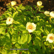Photo courtesy of Brooks Gardens Peonies. Used with per