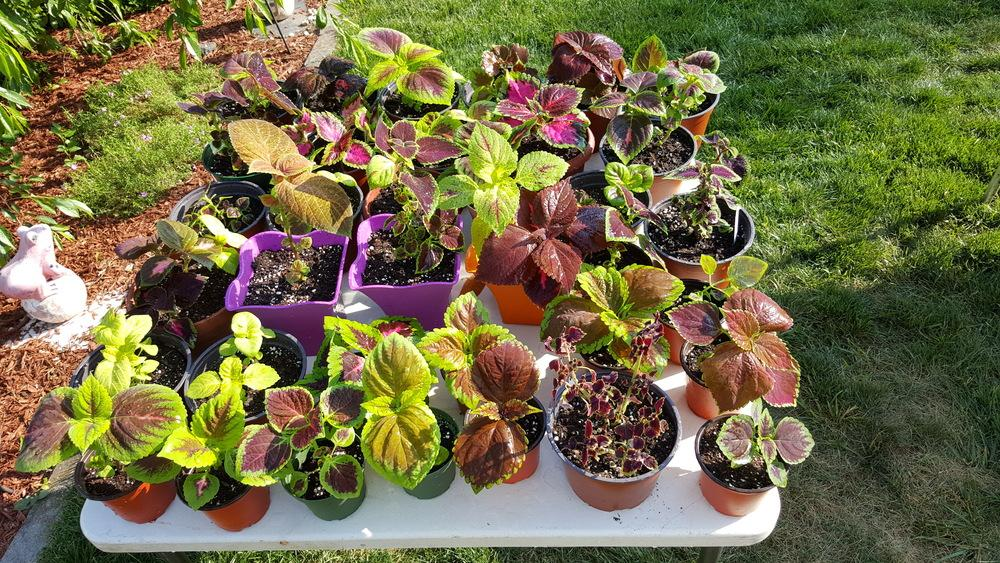 Coleus forum My Fantastic NJ Coleus Plants Gardenorg