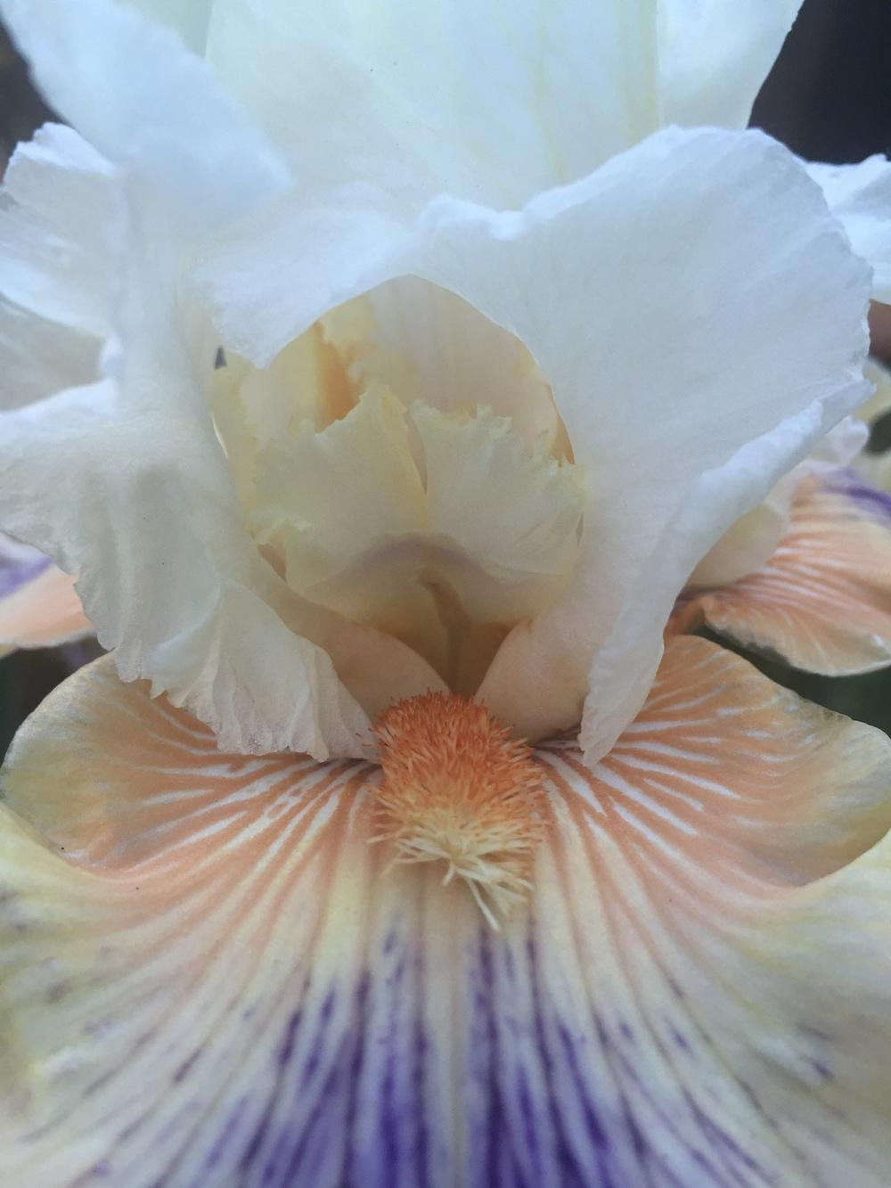 Photo of Tall Bearded Iris (Iris 'All About Me') uploaded by SpringGreenThumb