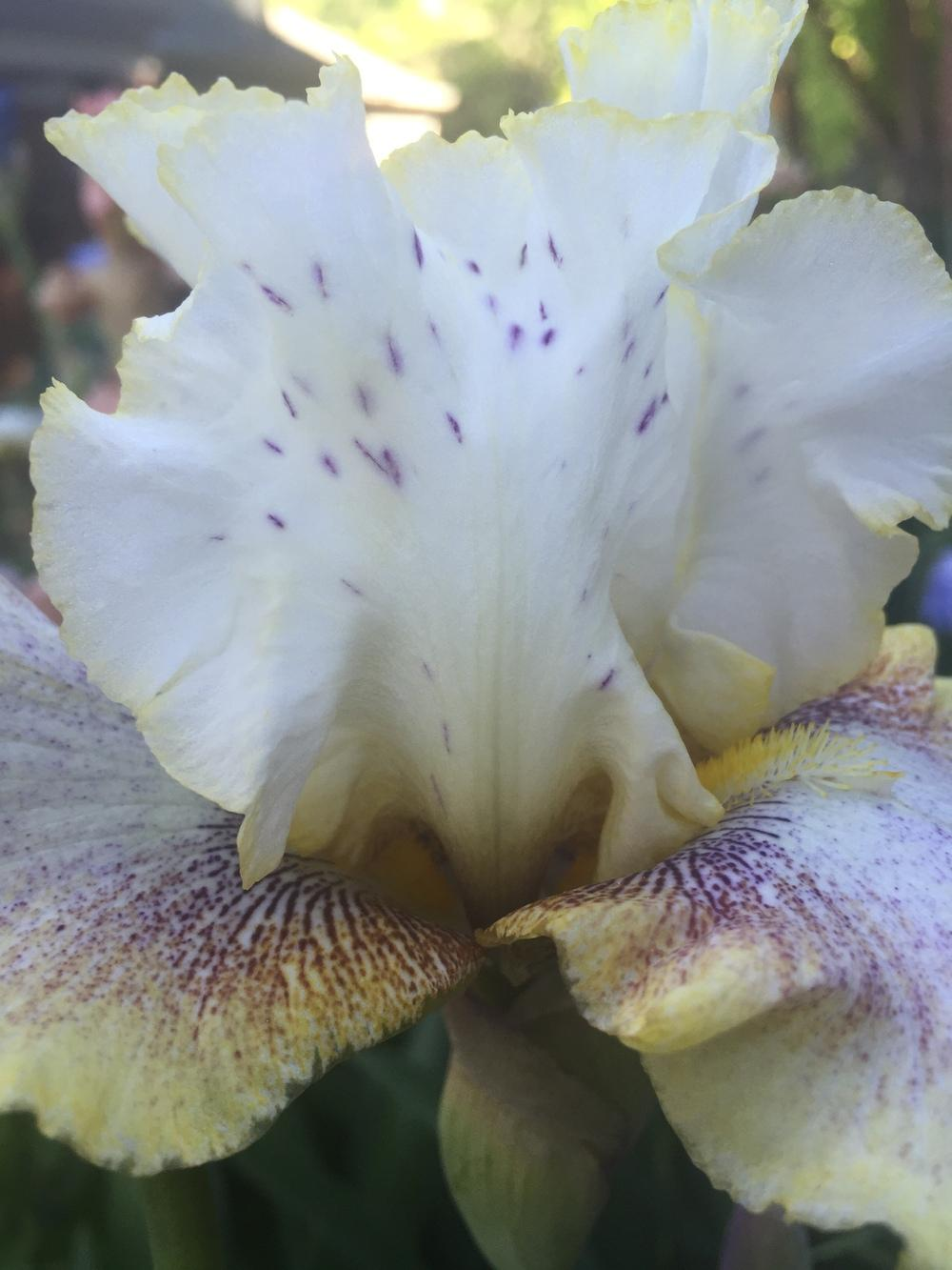 Photo of Tall Bearded Iris (Iris 'Ring Around Rosie') uploaded by SpringGreenThumb