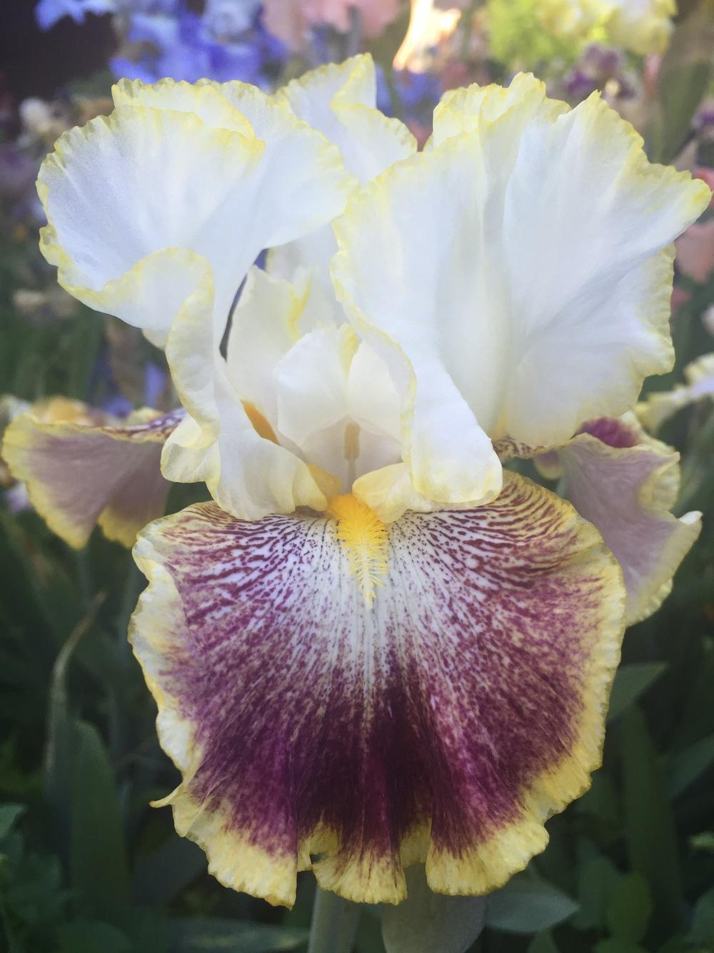 Photo of Tall Bearded Iris (Iris 'Carnival Ride') uploaded by SpringGreenThumb