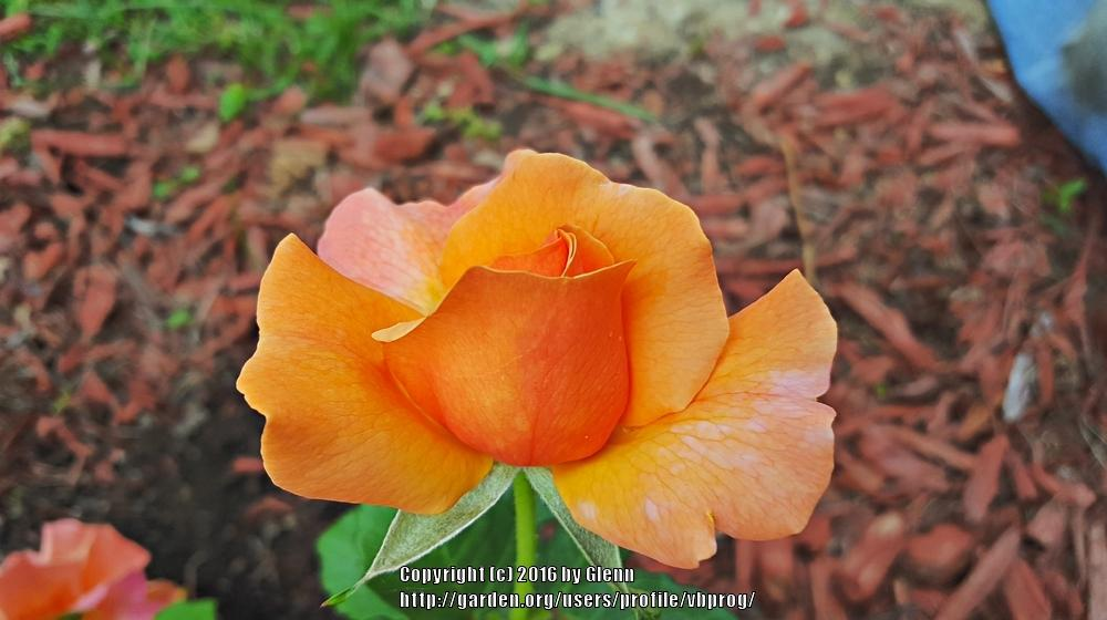 Photo of Rose (Rosa 'Easy Does It') uploaded by vbprog