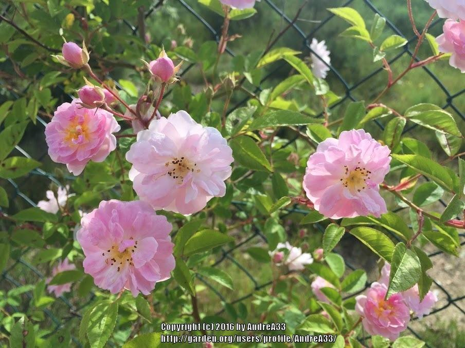 Photo of Rose (Rosa 'Paul's Himalayan Musk Rambler') uploaded by AndreA33