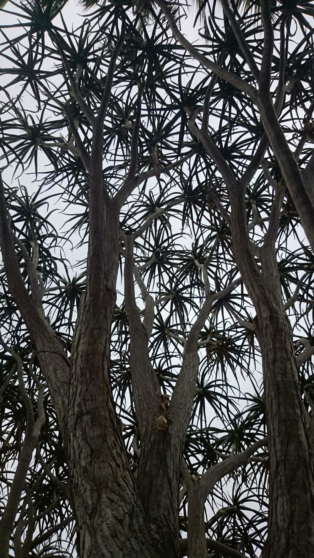 Photo of Giant Tree Aloe (Aloidendron barberae) uploaded by Baja_Costero
